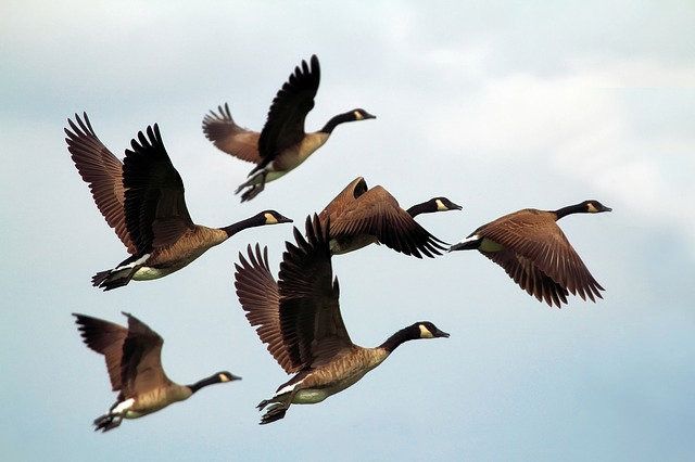 Flying with Geese